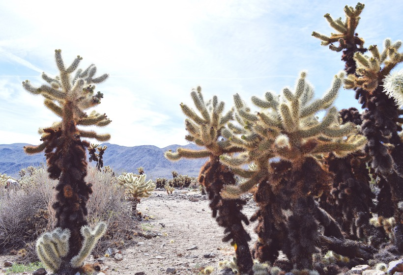 Cholla Cactus Garden Top Sites in Joshua Tree National Park